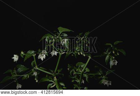 Close Up Of Serrano Chili Pepper Plant