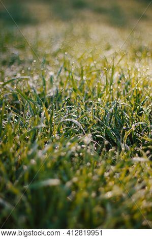 The Morning Dew Drops On Fresh Green Grass. Abstract Background Of Shining A Bright Morning Dew.