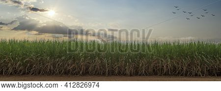 Sugarcane Field With Blue Sky. Sugarcane Is A Grass Of Poaceae Family. It Taste Sweet And Good For H