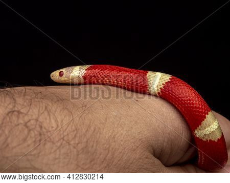 Lampropeltis Triangulum, Commonly Known As The Milk Snake Or Milksnake, Is A Species Of Kingsnake