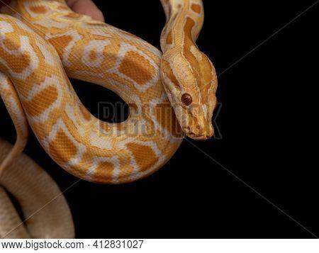 Gold Python, Reticulated Python (python Reticulatus)