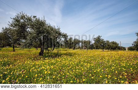 Field With Yellow Marguerite Daisy Blooming Flowers And Olive Trees Against And Blue Cloudy Sky.