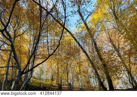 Colorful Leaves Of Trees In The Autumn Forest, Colors Of Leaf-fall. Autumnal Forest Landscape.