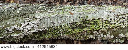A Decaying Birch Log On The Forest Florr Is Covered With Lichens, Ellison Bluff County Park, Door Co