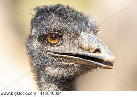 The Emu Is The Second-largest Living Bird By Height, After Its Ratite Relative, The Ostrich.