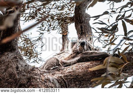 Koala Bear Resting On Eucalyptus Tree On A Autumn Day.