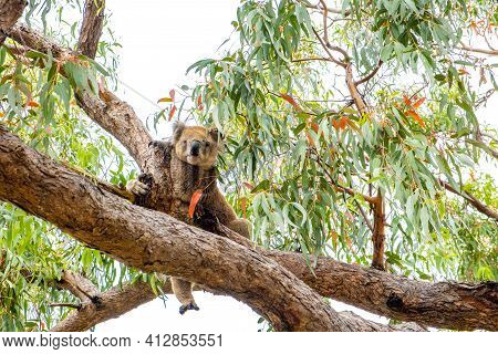 Cute Koala Has One Leg Hanging From Tree Branch - Sits Like A Person