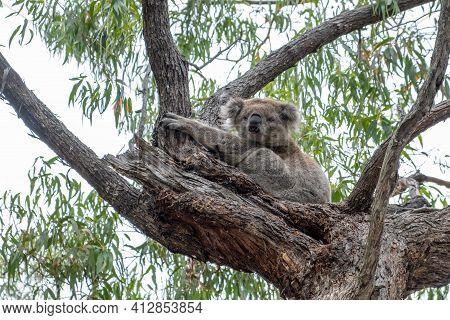 Koala Bear Portrait In Australia On A Eucalyptus Tree.