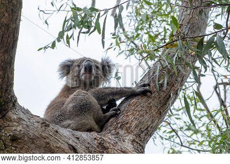 Koala Bear On A Tree In Australia