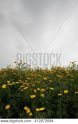Field With Yellow Marguerite Daisy Blooming Flowers Against Dramatic Cloudy Sky. Spring Landscape Na