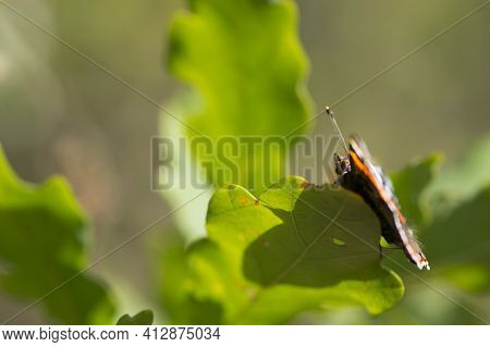 Butterfly Sitting On Oak Leaves. Large Beautiful Butterfly On A Green Leaf Close-up. Bright Colorful