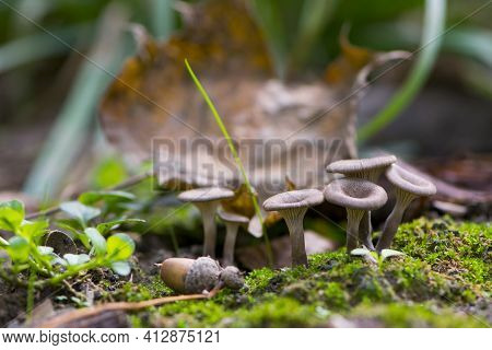 Small Forest Mushrooms Green Moss And Autumn Leaves. Small Brown Mushrooms Mixed With Green Leaves M
