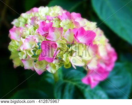 Beautiful Hydrangea Serrata Flowers Close Up. Common Names Mountain Hydrangea And Tea Of Heaven.