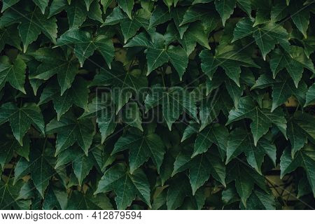 Background Of Grape Creeper Ivy Plant Growing On A House Wall