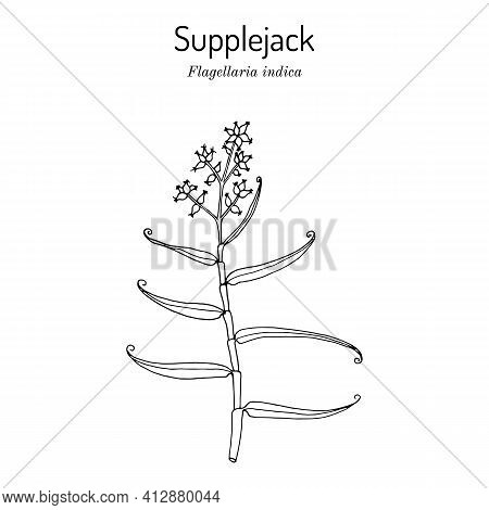 Whip Vine, Or Hell Tail, Supplejack, False Rattan, Bush Cane Flagellaria Indica, Medicinal Plant. Ha