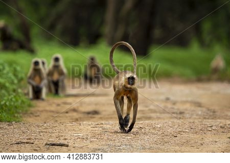Gray Or Hanuman Langurs Or Indian Langur Or Monkey Running Head On Forest Track With Tail Up In Natu