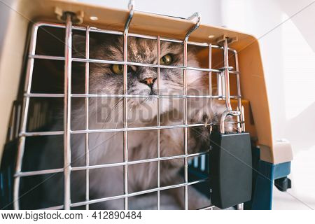 Beautiful Persian Angry Grumpy Cat With Big Green Eyes Trying To Get Out Of Cage, Plastic Pet Carrie