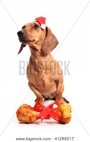 An isolated dachshund dog with a delicious bone received as a gift. poster