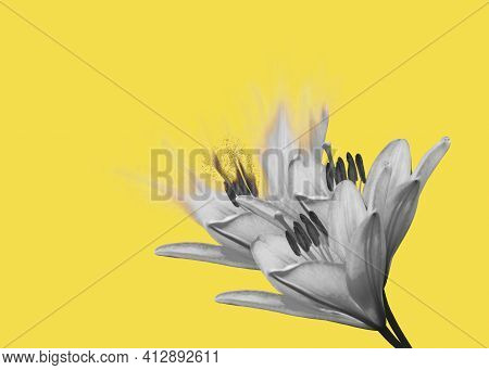Dispersion Effect Of Collage Of Gray Beautiful Lily Flowers Shattering On A Yellow Background With C