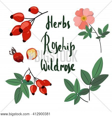 Collecting Wild Rose: Branch Of Rose Hip, Dog Rose Berries, Rosehip Flowers And Leaves. Cosmetic And