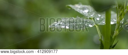 Dewdrops On Alfalfa Leaves, Wet Grass After Rain.