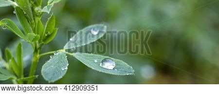 Dew Drops On Alfalfa Leaves, Green Background Of Nature And Growing Grass In The Garden.