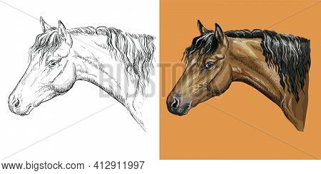 Realistic Head Of Belgian Pony. Vector Black And White And Colorful Isolated Illustration Of Horse.