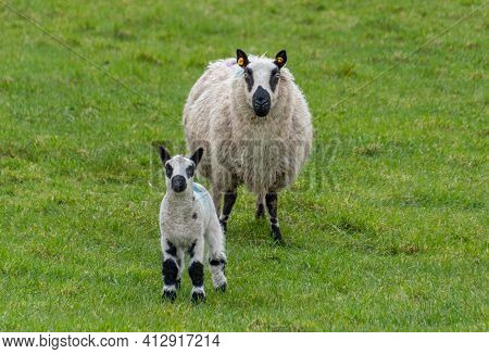 Female Sheep With Newborn Lamb In Lush Green Meadow In Spring Time.