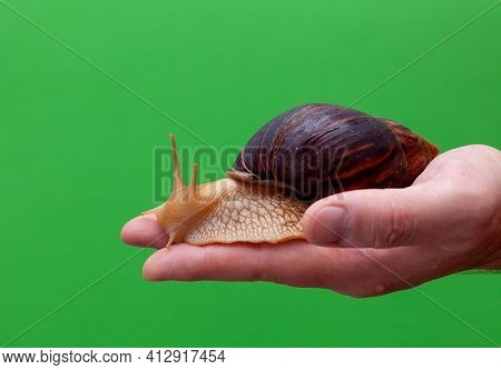 Big Brown Snail Achatina On Hand. The African Snail, Which Is Grown At Home As A Pet, And Also Used