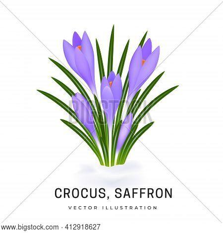 Crocus Sativus, Violet Saffron Flower. Bush Of An Early Spring Flower Plant. Flower Has Grown From U