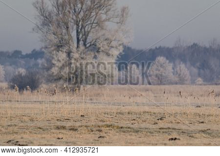 Hoarfrost In The Wetlands - Tree And Cane In The Bogs