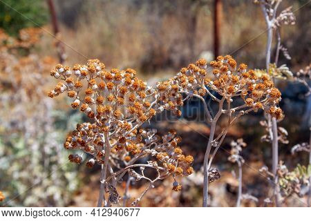 Close Up Dry Flowers Of Helichrysum Arenarium Also Known As Dwarf Everlast Or Immortelle, Growing In