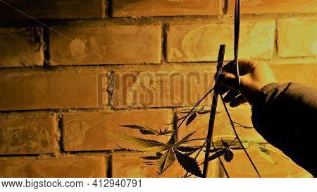 Man's Hand Holding A Freshly Cut Marijuana Bush With Scissors In A Dim Room Against A Brick Wall Bac