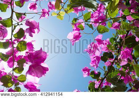 Bougainvillea, ornamental vines over sunny sky