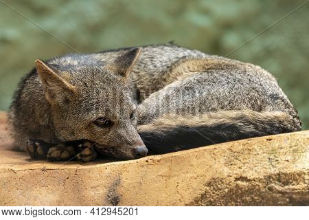 The Crab-eating Fox (cerdocyon Thous), Also Known As The Forest Fox, Wood Fox, Bushdog Or Maikong