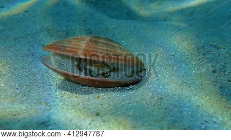 Bivalve Mollusc Smooth Clam (callista Chione) Undersea, Aegean Sea, Greece, Halkidiki