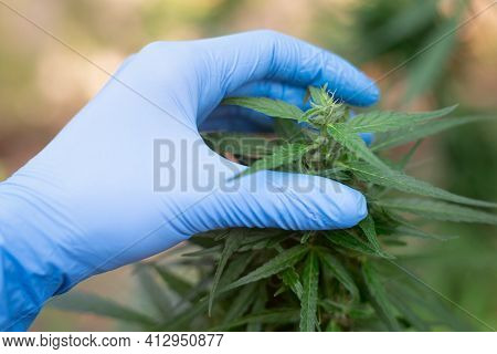 Marijuana Research Holds Laptops, With Researchers Investigating Marijuana Trees Analyze Plants For