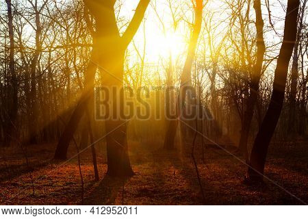 Twilight In The Forest . Spring Woodland With Sundown Rays