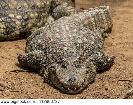 Closeup Of Black Alligator Sunbathing In Land