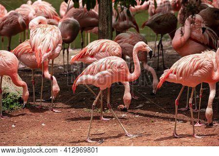 Flamingos Closeup, Wonderful Colors, Beautiful Birds In The Zoo