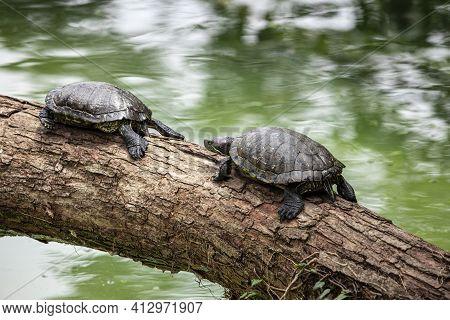 Tiger Tortoise Sunbathing On Tree Trunk In The Lake