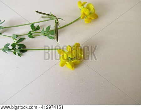 Birds-foot Trefoil With Yellow Flowers, Lotus Corniculatus