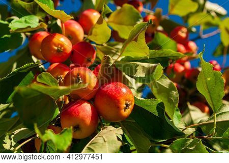 Bunches Of Red, Ripe Apples On A Branch Of An Apple Tree, Brightly Lit By The Sun. Red Ripe Apples O