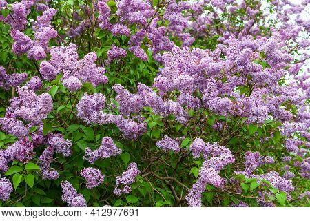 Lilac Blooming In Full Bloom. Pink-purple Lilac Flowers As A Background.