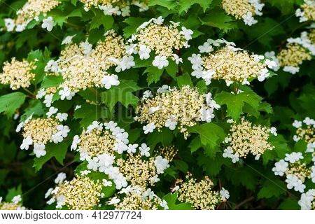 Viburnum Blooms In Full Force. White Viburnum Flowers As A Symbol Of Purity And Innocence. White Flo