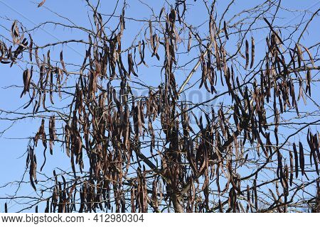 Thornless Honey Locust Bare Branches With Seed Pod - Latin Name - Gleditsia Triacanthos F. Inermis