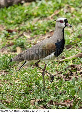 Bird Couple Quero-quero, Abibe-do-sul Taking Care Of Nest In Grass With Eggs.