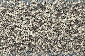 Large flock of Snow Geese (chen caerulescens) taking flight poster