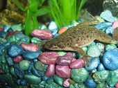 One of three African Dwarf Frogs shot in my aquarium. poster