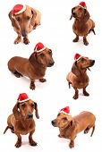 A group of sausage dogs wearing a santa's hat. poster